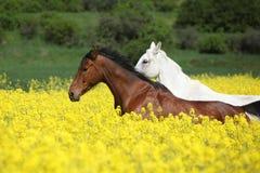 Caballos marrones y blancos hermosos que corren en flores amarillas Imágenes de archivo libres de regalías
