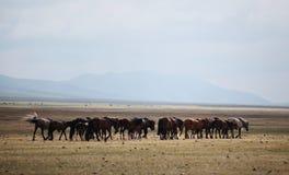 Caballos mongoles Imágenes de archivo libres de regalías