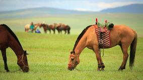 caballos mongoles en el prado extenso, Mongolia almacen de metraje de vídeo