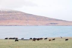 Caballos nativos en Islandia fotografía de archivo libre de regalías