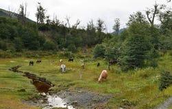 Caballos patagones fotografía de archivo