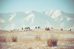 Caballos que alimentan en montañas Foto de archivo