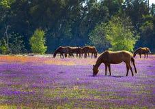 Caballos que alimentan en un prado floreciente Imágenes de archivo libres de regalías