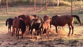 Caballos que comen el heno en luz caliente de la puesta del sol almacen de metraje de vídeo