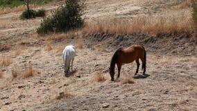 Caballos que comen el heno en un campo en Sicilia almacen de metraje de vídeo