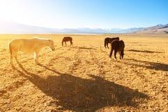 Caballos que comen en la tierra de la hierba Imágenes de archivo libres de regalías