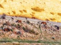 Caballos que comen en un campo Fotografía de archivo libre de regalías