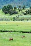 Caballos que comen la hierba Imágenes de archivo libres de regalías