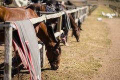 Caballos que comen la hierba en el rancho Imágenes de archivo libres de regalías
