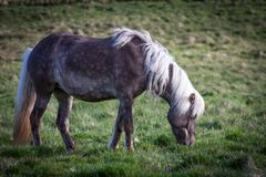 Caballos que comen la hierba en Islandia Fotografía de archivo libre de regalías