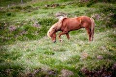 Caballos que comen la hierba en Islandia Imagenes de archivo