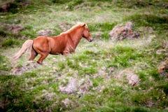 Caballos que comen la hierba en Islandia Foto de archivo libre de regalías