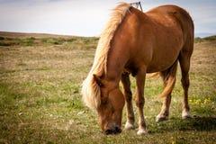 Caballos que comen la hierba en Islandia Foto de archivo