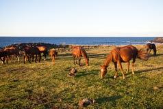 Caballos que comen la hierba en la isla de pascua Foto de archivo libre de regalías