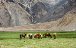 Caballos que comen la hierba en la montaña Foto de archivo libre de regalías