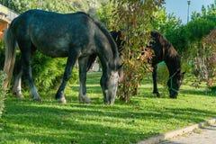 Caballos que comen la hierba verde Fotografía de archivo libre de regalías