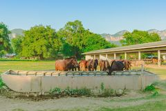 Caballos que comen la paja del arroz en la granja del caballo foto de archivo