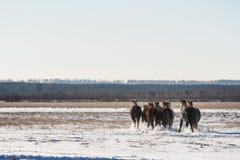 Caballos que corren a través de un campo nevoso foto de archivo libre de regalías