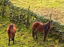 Caballos que hojean en los campos. Imágenes de archivo libres de regalías