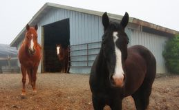 3 caballos que miran fijamente, Washington State Fotos de archivo libres de regalías