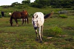 Caballos que pastan Fotografía de archivo