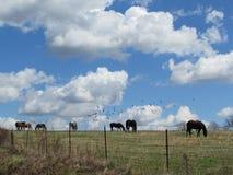 Caballos que pastan debajo del cielo azul y de las nubes Foto de archivo