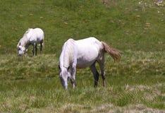 Caballos que pastan en campo Fotografía de archivo libre de regalías