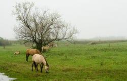 Caballos que pastan en campo Fotografía de archivo