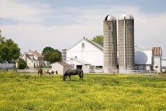 Caballos que pastan en campo amarillo Fotos de archivo