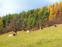 Caballos que pastan en campo del otoño Imagen de archivo