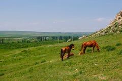 Caballos que pastan en campo en tiempo soleado Foto de archivo libre de regalías