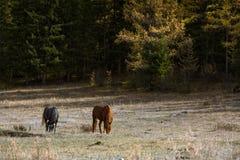 Caballos que pastan en el césped en las montañas de Altai Fotografía de archivo