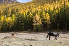 Caballos que pastan en el césped en las montañas de Altai Foto de archivo libre de regalías