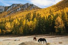Caballos que pastan en el césped en las montañas de la república de Altai Fotos de archivo