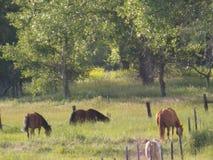 Caballos que pastan en el campo Imagen de archivo
