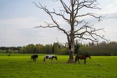 Caballos que pastan en el campo de la primavera Fotografía de archivo