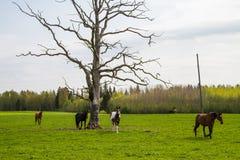 Caballos que pastan en el campo de la primavera Fotos de archivo libres de regalías