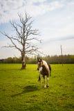 Caballos que pastan en el campo de la primavera Imagen de archivo
