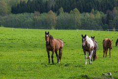 Caballos que pastan en el campo de la primavera Foto de archivo libre de regalías