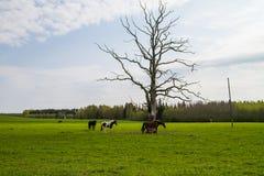 Caballos que pastan en el campo de la primavera Fotos de archivo