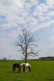 Caballos que pastan en el campo de la primavera Imagen de archivo libre de regalías