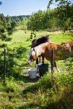 Caballos que pastan en el campo en día de verano, mucho verdor, en Finlandia Fotografía de archivo