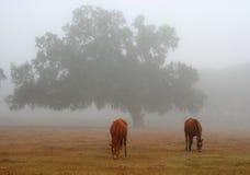 Caballos que pastan en la niebla Fotografía de archivo