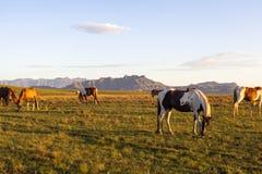 Caballos que pastan en las montañas Imagenes de archivo