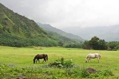 Caballos que pastan en pasto enorme Foto de archivo