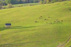 Caballos que pastan en pasto verde Fotografía de archivo