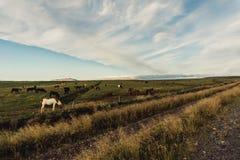 Caballos que pastan en pasto verde foto de archivo libre de regalías