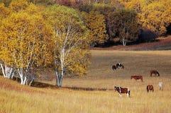 Caballos que pastan en pradera con los árboles de abedul Foto de archivo