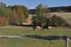 Caballos que pastan en tierra de pasto Foto de archivo libre de regalías