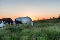 Caballos que pastan en un campo Imagen de archivo libre de regalías